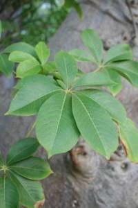 Feuilles de Baobab bio riche en antioxydant naturel puissant