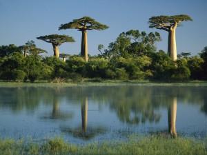 Adansonia grandidieri le Baobab de Madagascar
