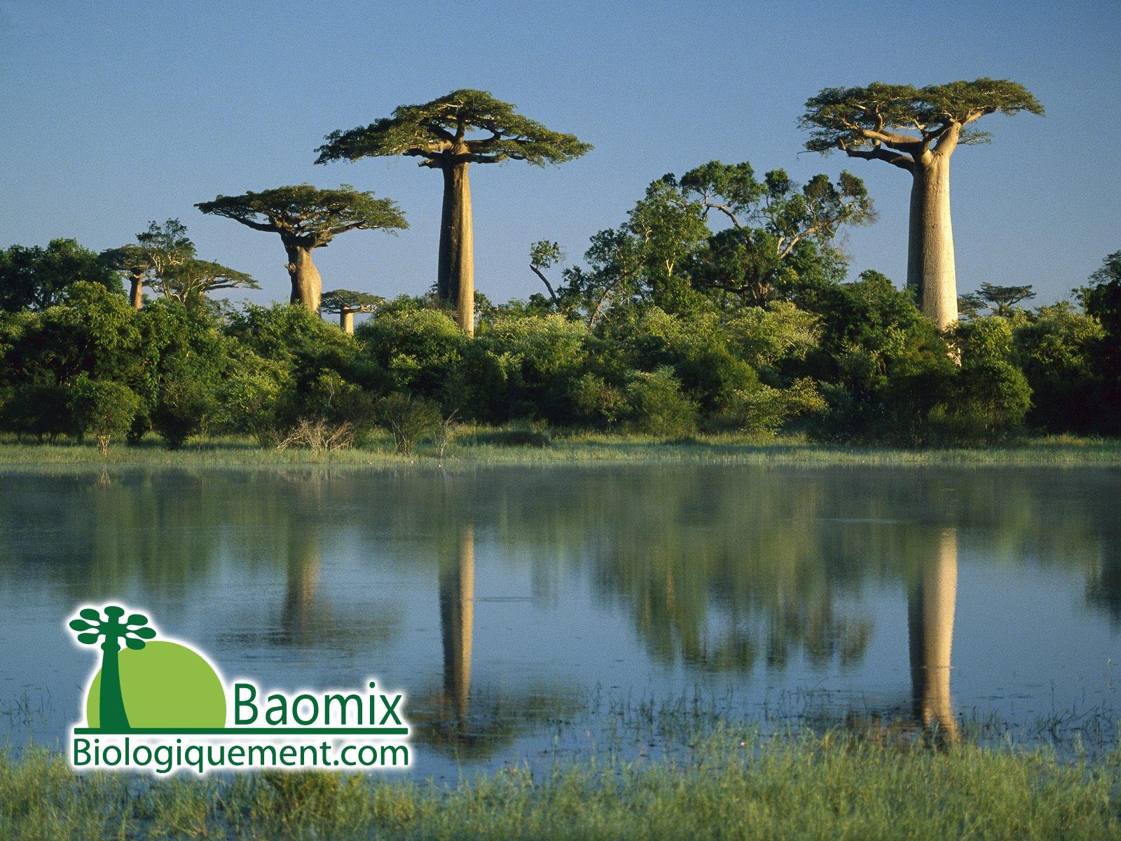 propri t s vertus posologie du baobab bio poudre baobab bio pulpe fruit bio. Black Bedroom Furniture Sets. Home Design Ideas