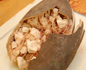 Le fruit du baobab Baomix riche en antioxydant naturel puissant
